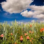 barley, blue sky, clowdy sky